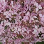 een roze Annabelle Hydrangea